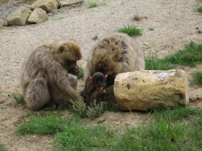 Apen zoeken naar voedsel