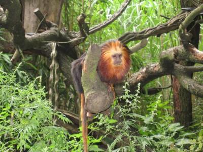 Leew-aap in de Apenheul