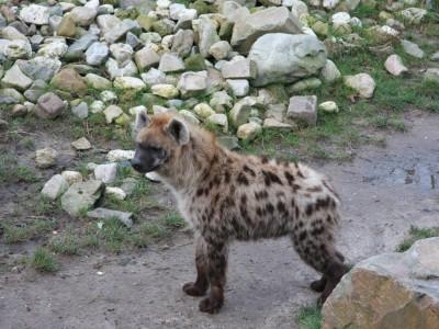 blijdorp-5963-hyena